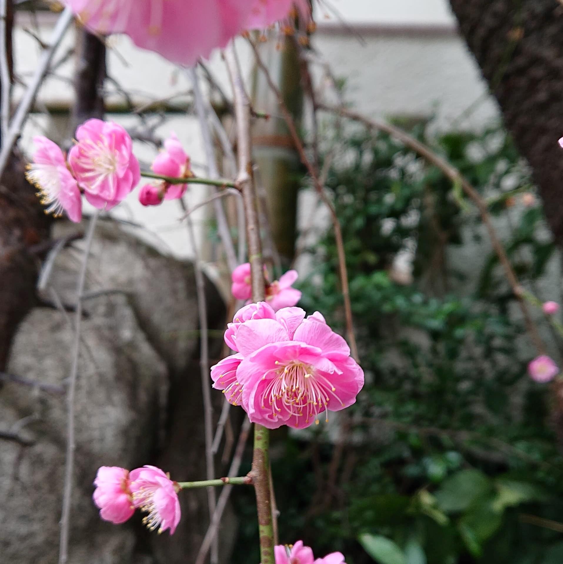 圓應寺(円応寺)歳時心得記用副住職三木英信が撮影したしだれ梅
